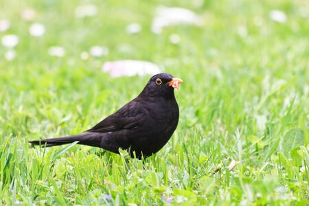 turdus: a blackbird (turdus merula) who prepares lunch