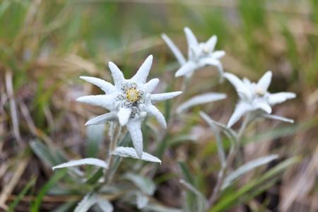 a bouquet of edelweiss near a mountain  Stock Photo