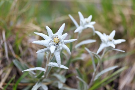 a bouquet of edelweiss near a mountain  Stock Photo