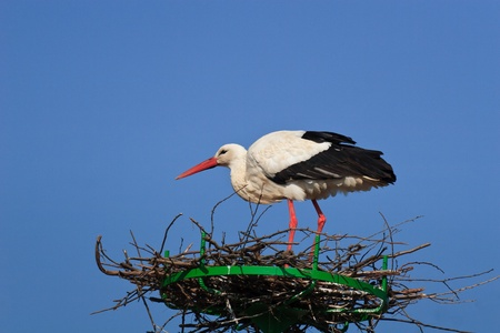 stork in the nest and a blue sky photo