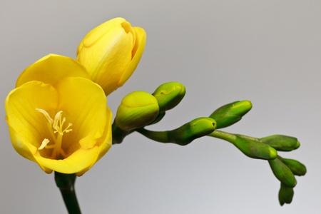 a yellow fresia on a white background