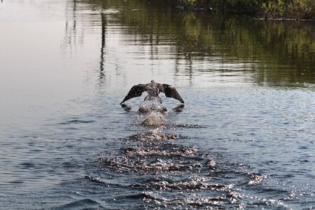 a cormorant trying to fly from water photo