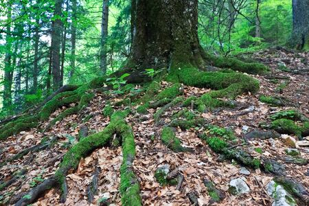large roots of a big old tree Stock Photo - 9172189
