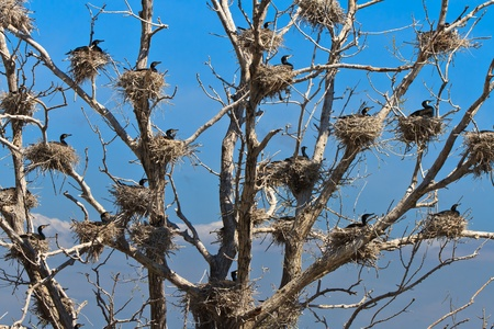 cormorant nests in a tree in Danube Delta