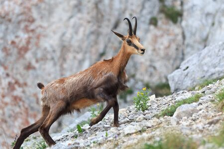 chamois (Rupicapra Carpatica) who goes on a mountain