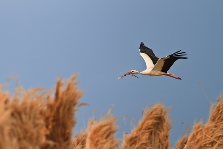 stork in flight on a blue sky