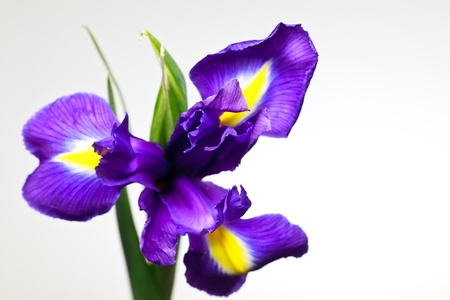 irises: iris violet flower on a white background  Stock Photo