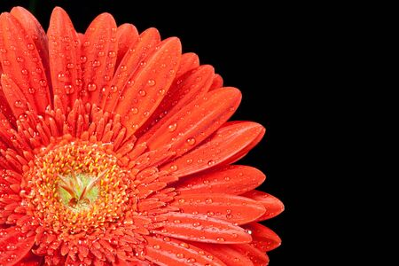 closeup red gerbera daisy with drops of water  photo