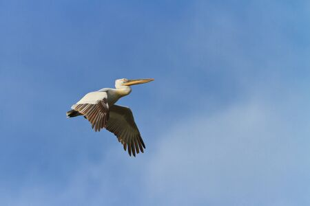 Dalmatian Pelican  in flight on a blue sky photo