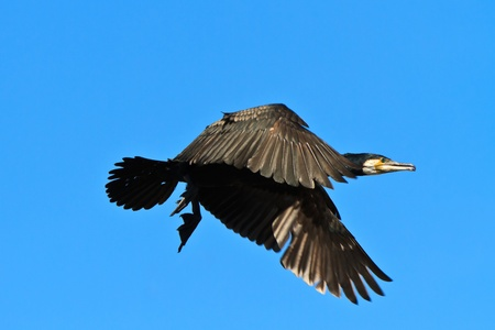 cormorant (phalacrocorax carbo ) in flight in Danube Delta, Romania