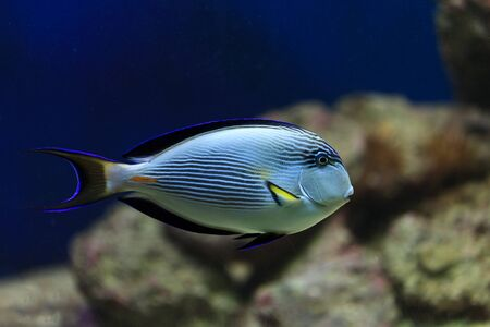 hepatus: hippo blue tang in coral reef aquarium  Stock Photo