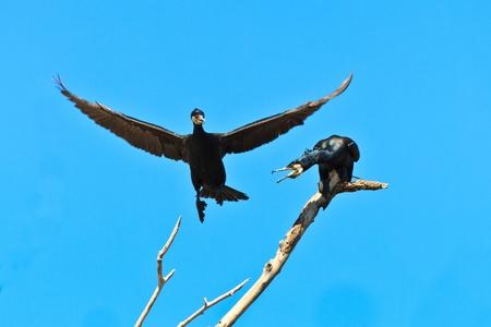 cormorants in a tree  in Danube Delta, Romania photo