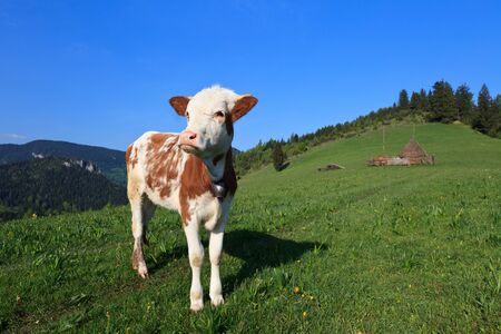 a cute young calf in a spring meadow  Stock Photo