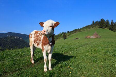 un vitello giovane carino in un prato primavera