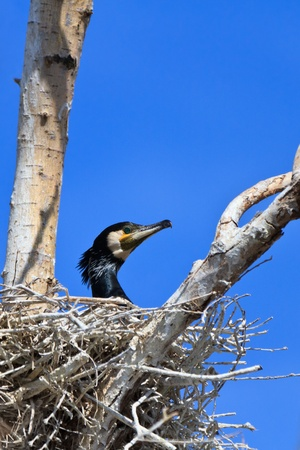 carbo: cormorant (phalacrocorax carbo ) on nest in Danube Delta, Romania