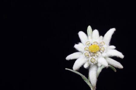 una stella alpina bella su uno sfondo nero