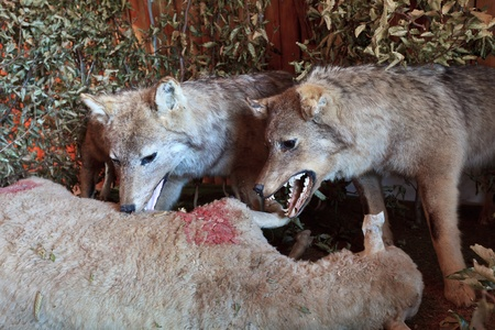 reproduction by a scene where wolves eating a sheep photo