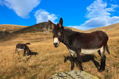 donkeys grazing on a hill in autumn Stock Photo