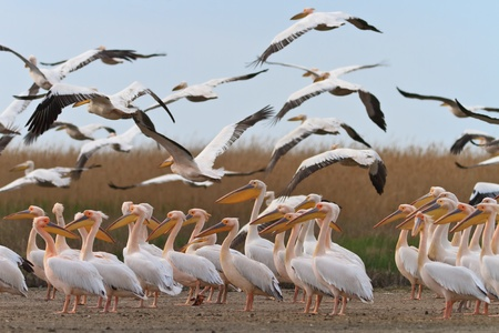 white pelicans in the Danube Delta, Romania