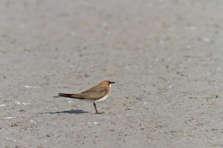 Collared Pratincole (Glareola pratincola) on the ground