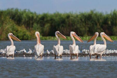 un gruppo di pellicani nel Delta del Danubio, Romania