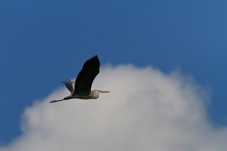 ardea cinerea: grey heron (ardea cinerea) in flight in Danube Delta, Romania