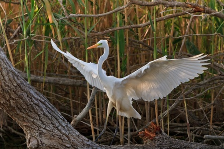 great white egret (Egretta alba) in Danube Delta, Romania