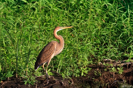 red heron (ardea purpurea) in the Danube Delta, Romania Stock Photo