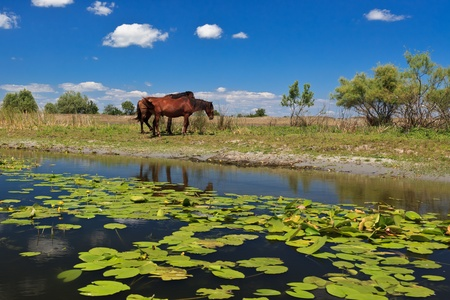 two horses on the edge of a channel of water.Location: Danube Delta, Romania photo