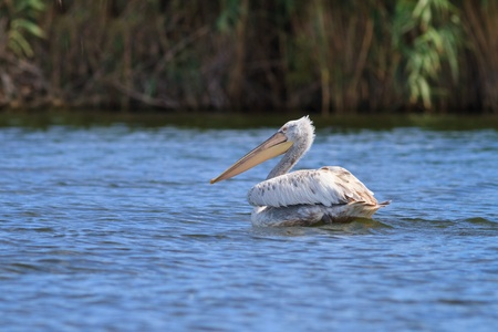 Dalmatian Pelican (Pelecanus crispus) in the Danube Delta, Romania photo