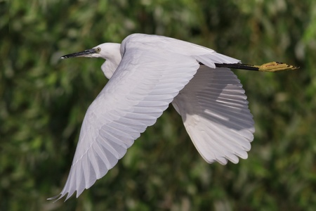 migratory birds: Little egret (Egretta garzetta) in flight. Location: Danube Delta, Romania
