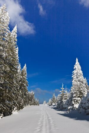 a beautiful forest with pines in winter photo