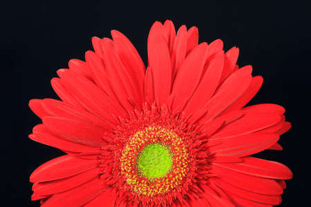 red gerbera daisy on a black background photo