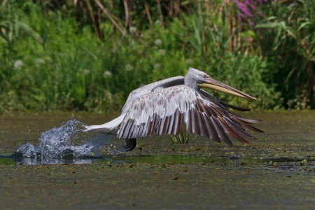 Dalmatian Pelican (Pelecanus crispus) in flight, Danube Delta, Romania photo