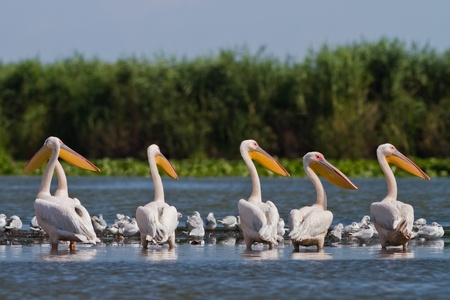 a group of pelicans in the Danube Delta, Romania