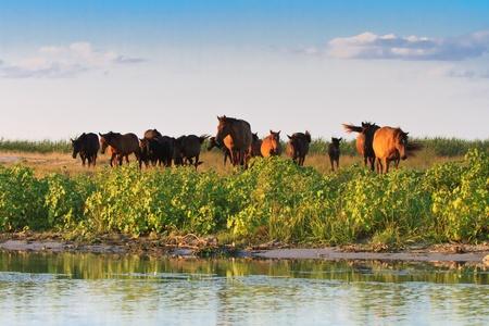 danube delta: horses on the edge of a channel of water.Location: Danube Delta, Romania