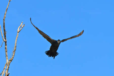 carbo: cormorant (phalacrocorax carbo ) in flight in Danube Delta, Romania