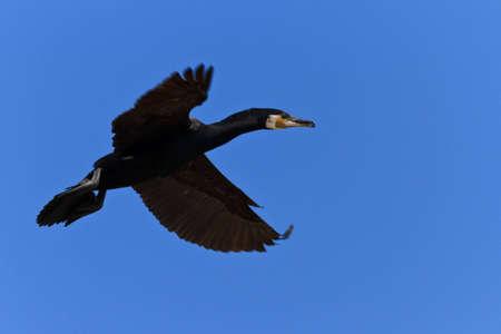 carbo: cormorant (phalacrocorax carbo ) in flight on a blue sky  Stock Photo