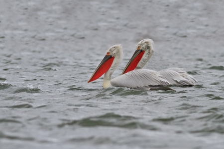 Dalmatian Pelicans (Pelecanus crispus) in the Danube Delta, Romania photo