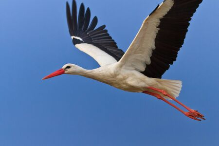 white stork in flight on a blue sky