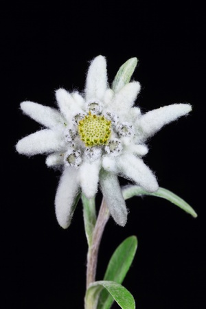 a beautiful edelweiss on a black background  photo