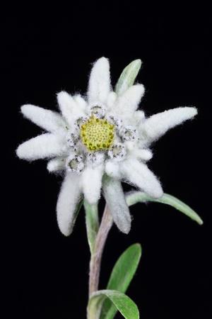 una bella stella alpina su sfondo nero