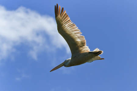 Dalmatian Pelican  in flight on a blue sky photo
