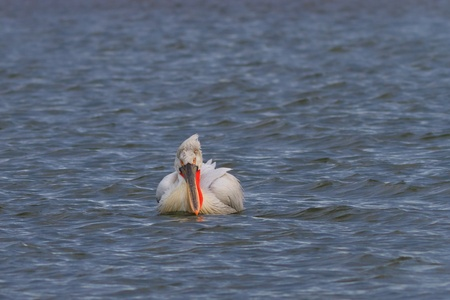 Dalmatian Pelican  Pelecanus crispus  in the Danube Delta, Romania photo