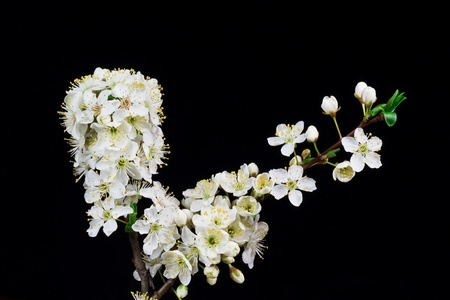 branch of cherry blossoms on a black background photo