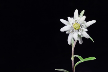 a beautiful edelweiss on a black background  Stock Photo