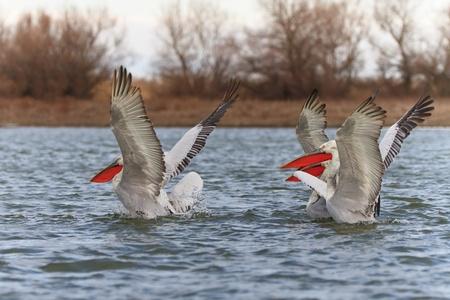 danube delta: Dalmatian Pelicans (Pelecanus crispus) in the Danube Delta, Romania