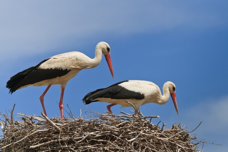 details with two white storks on nest Stock Photo