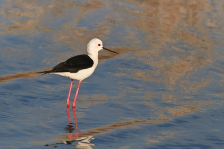 black winged stilt: black winged stilt (Himantopus himantopus) in Danube Delta, Romania