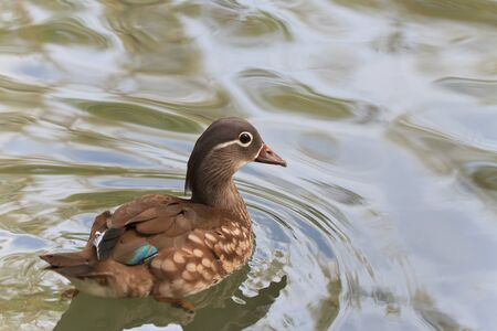 waterbird: mandarin duck (female) swims on the surface of water
